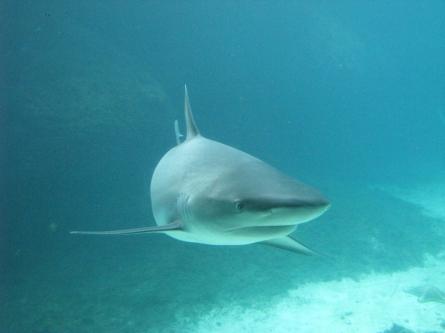 Haitourismus: Schutzgebieten für Haie gefordert