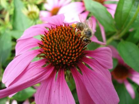Nahrungsmittelproduktion: Honigbienen alleine reichen nicht aus